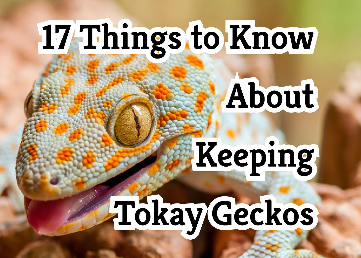 17 Secrets For Keeping Tokay Geckos