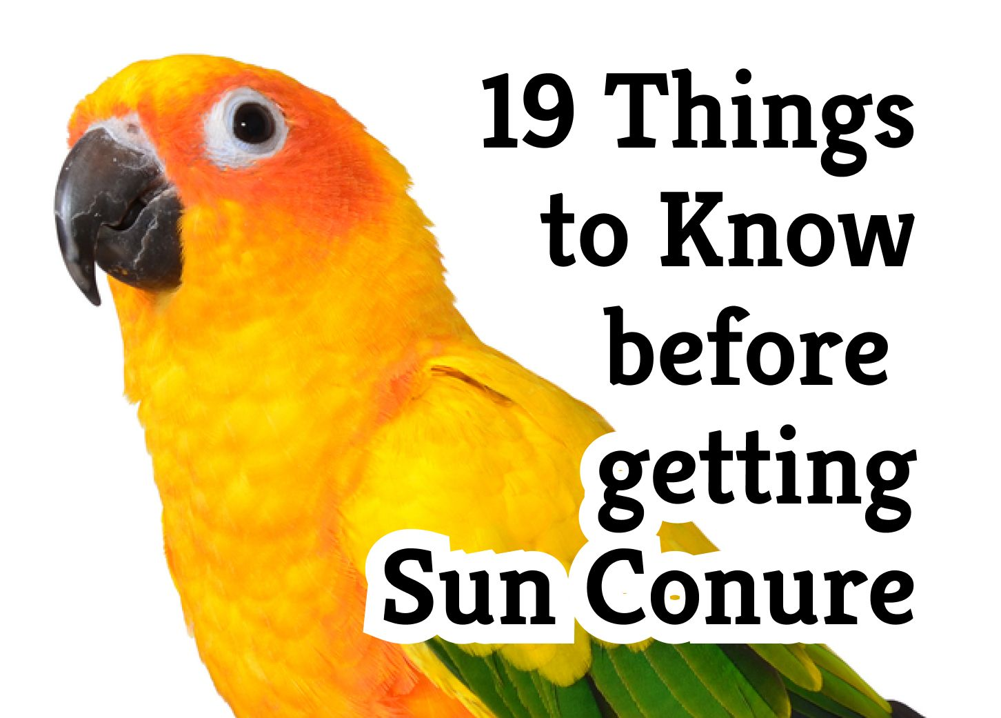 19 Things to Know Before Getting a Sun Conure