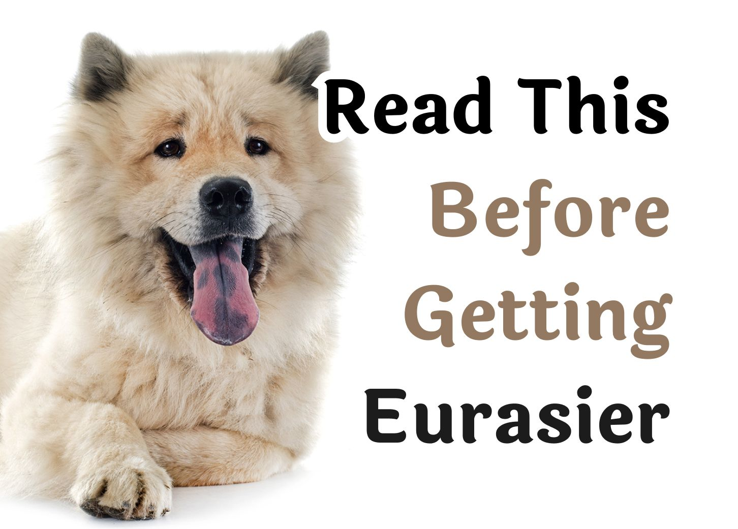 24 Questions То Consider Before Getting A Eurasier dog