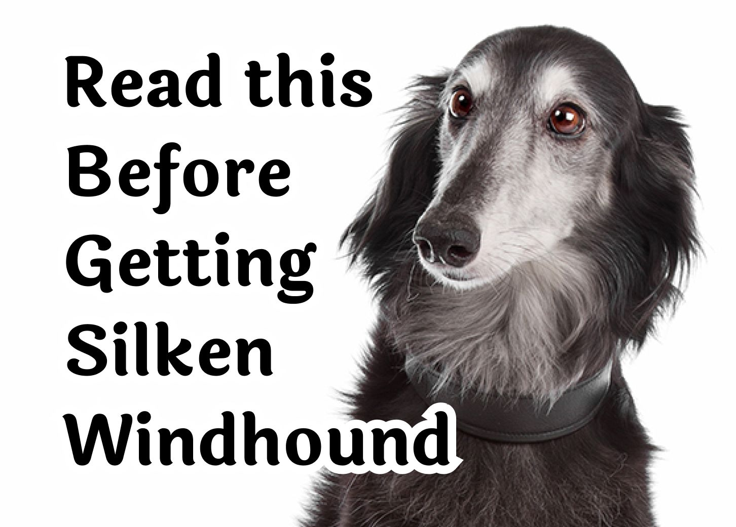 24 Questions То Consider Before Getting A Silken Windhound