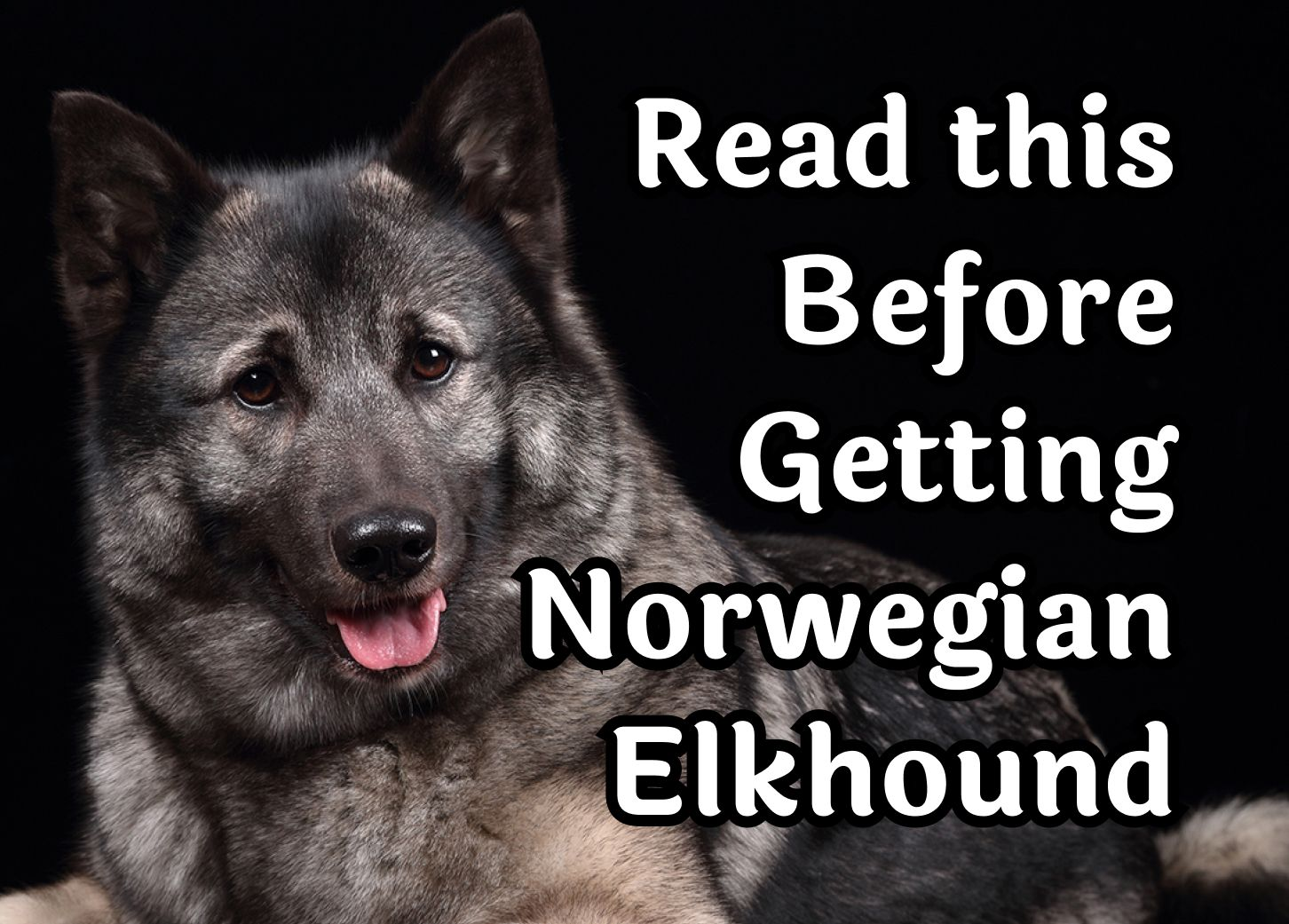 27 Questions То Consider Before Getting A Norwegian Elkhound