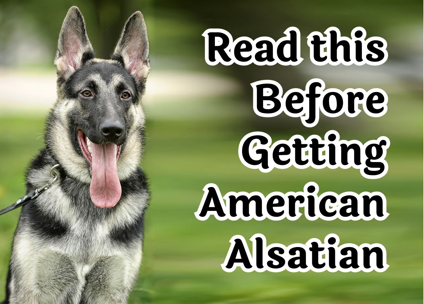 28 Questions to Consider Before Getting A American Alsatian