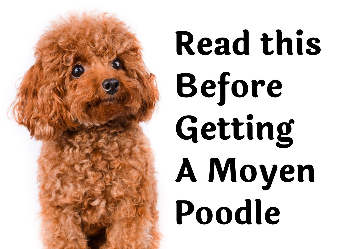 28 Questions to Consider Before Getting A Moyen Poodle