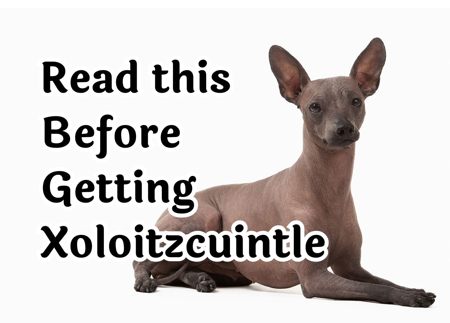 29 Questions to Consider Before Getting An Xoloitzcuintle