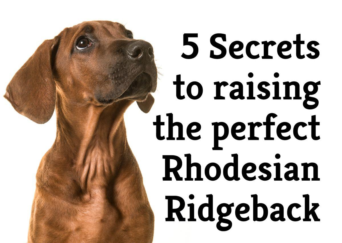 5 Secrets to raising the perfect Rhodesian Ridgeback