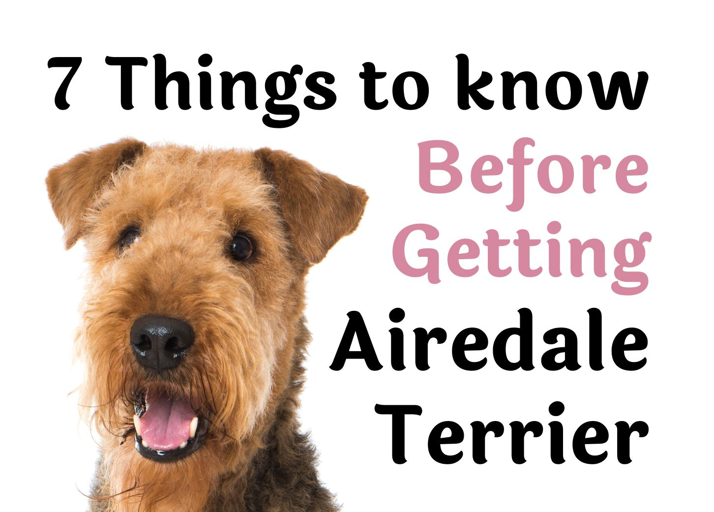 7 Things to Consider Before Getting an Airedale Terrier