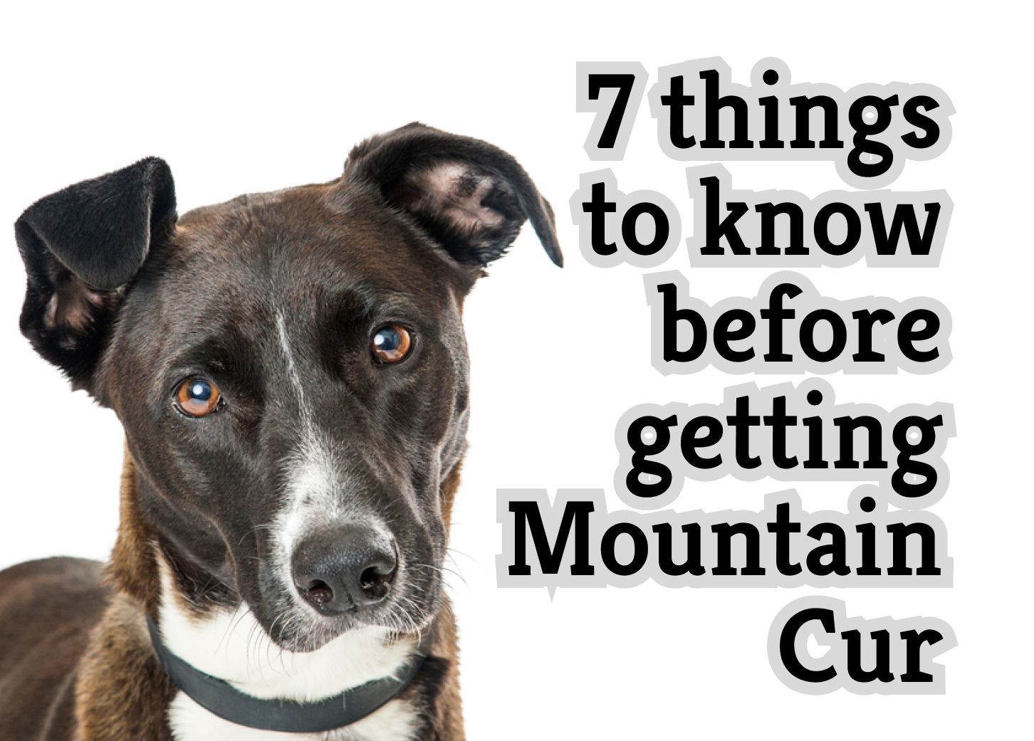 7 Things to Know Before Getting a Mountain Cur