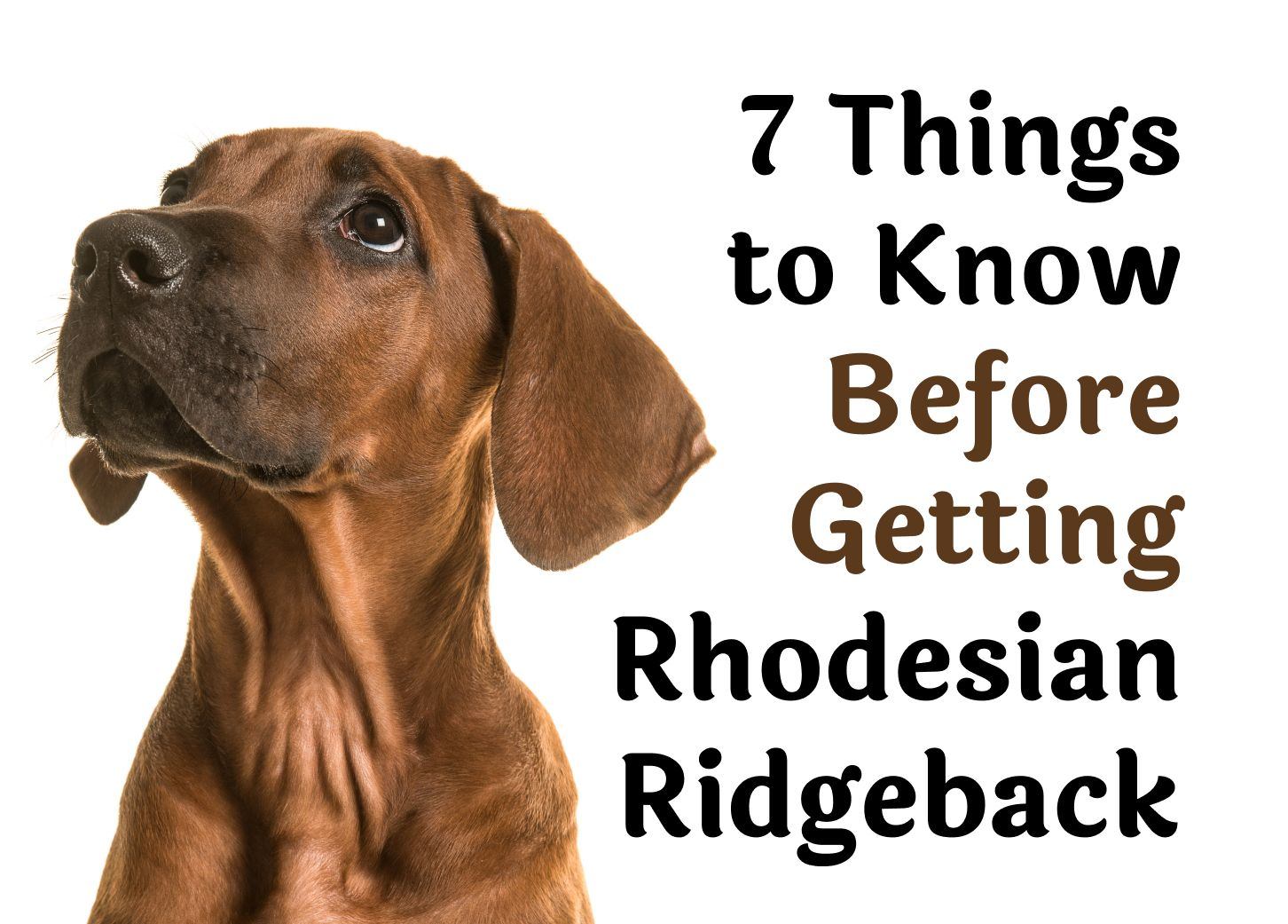7 Things To Know Before Getting A Rhodesian Ridgeback