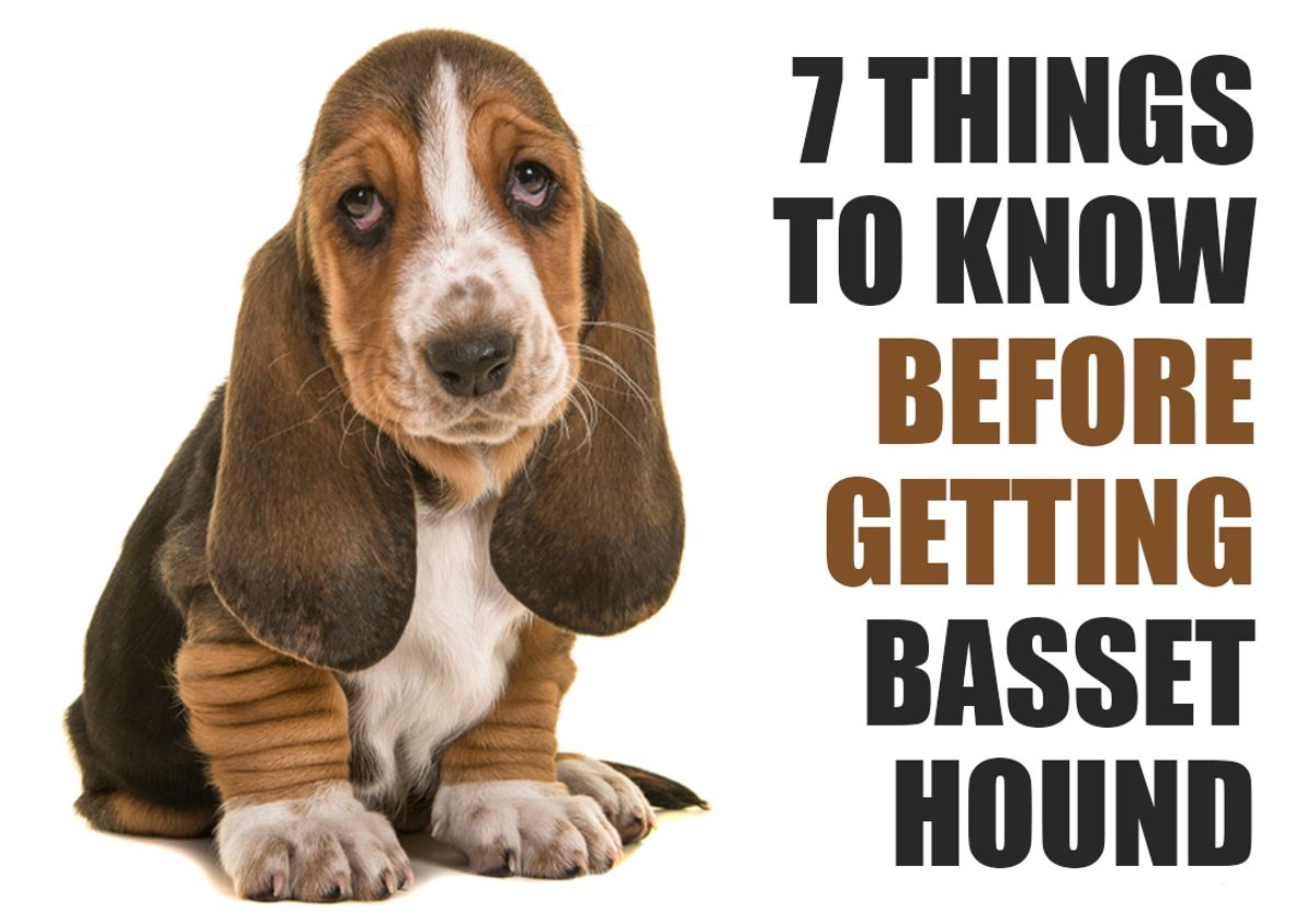 7 Things To Know Before Getting A Basset Hound Puppy