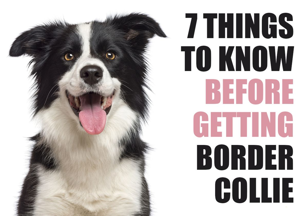 7 Things To Know Before Getting A Border Collie Puppy