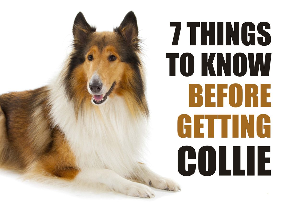 7 Things To Know Before Getting A Collie Puppy