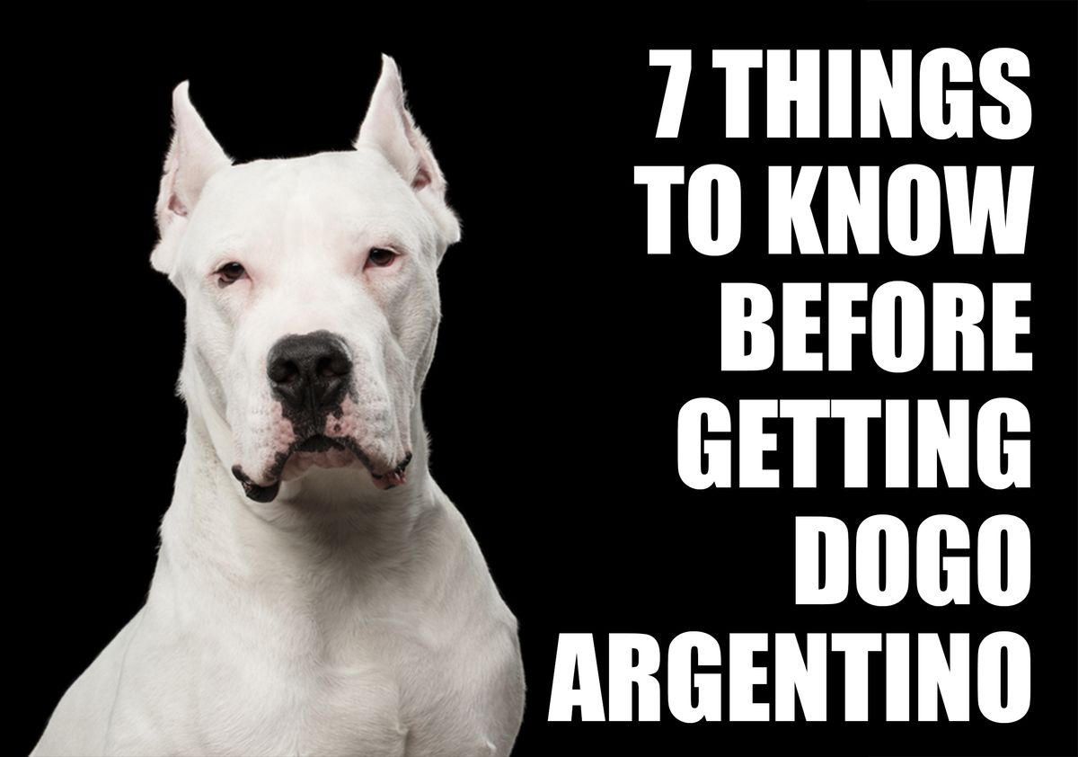 7 Things To Know Before Getting A Dogo Argentino Puppy