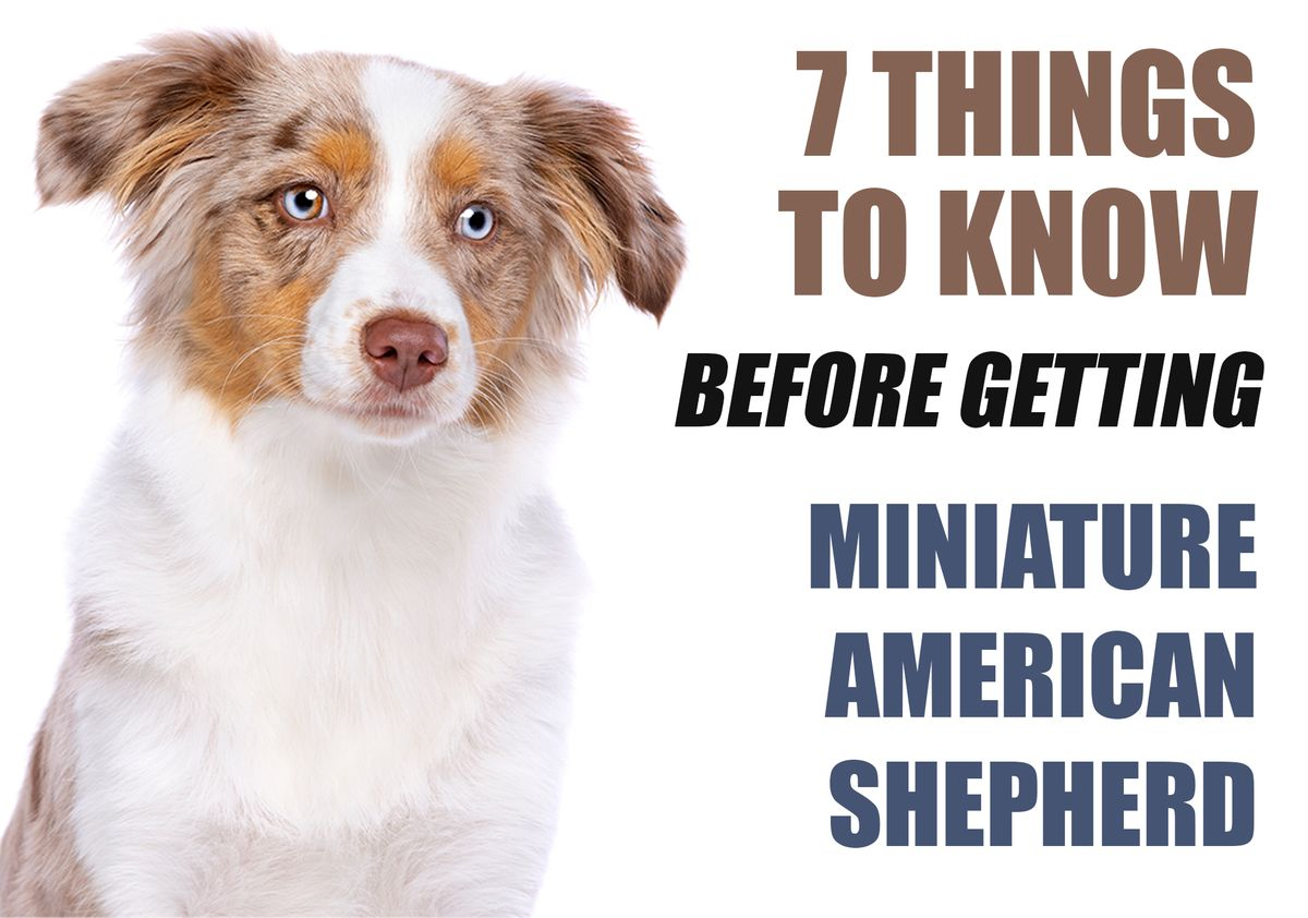 7 Things To Know Before Getting A Miniature American Shepherd Puppy