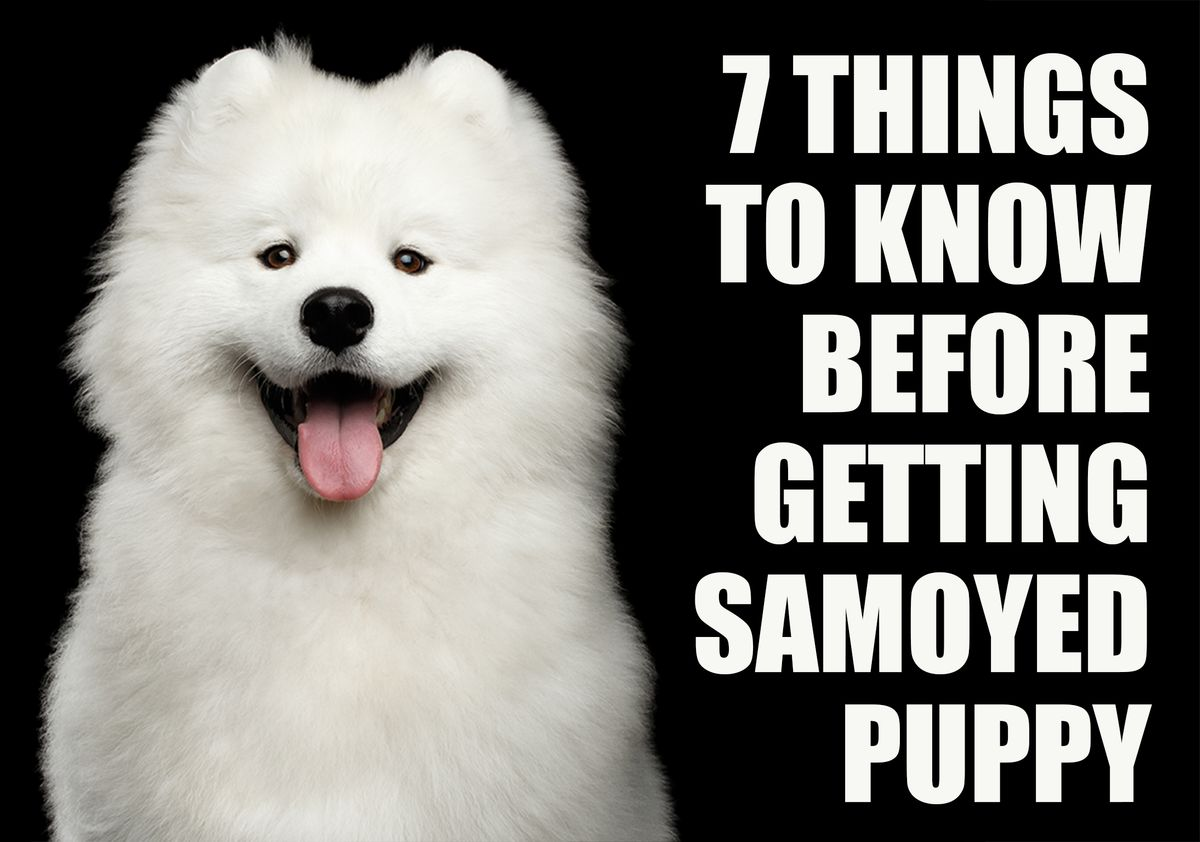 7 Things To Know Before Getting A Samoyed Puppy