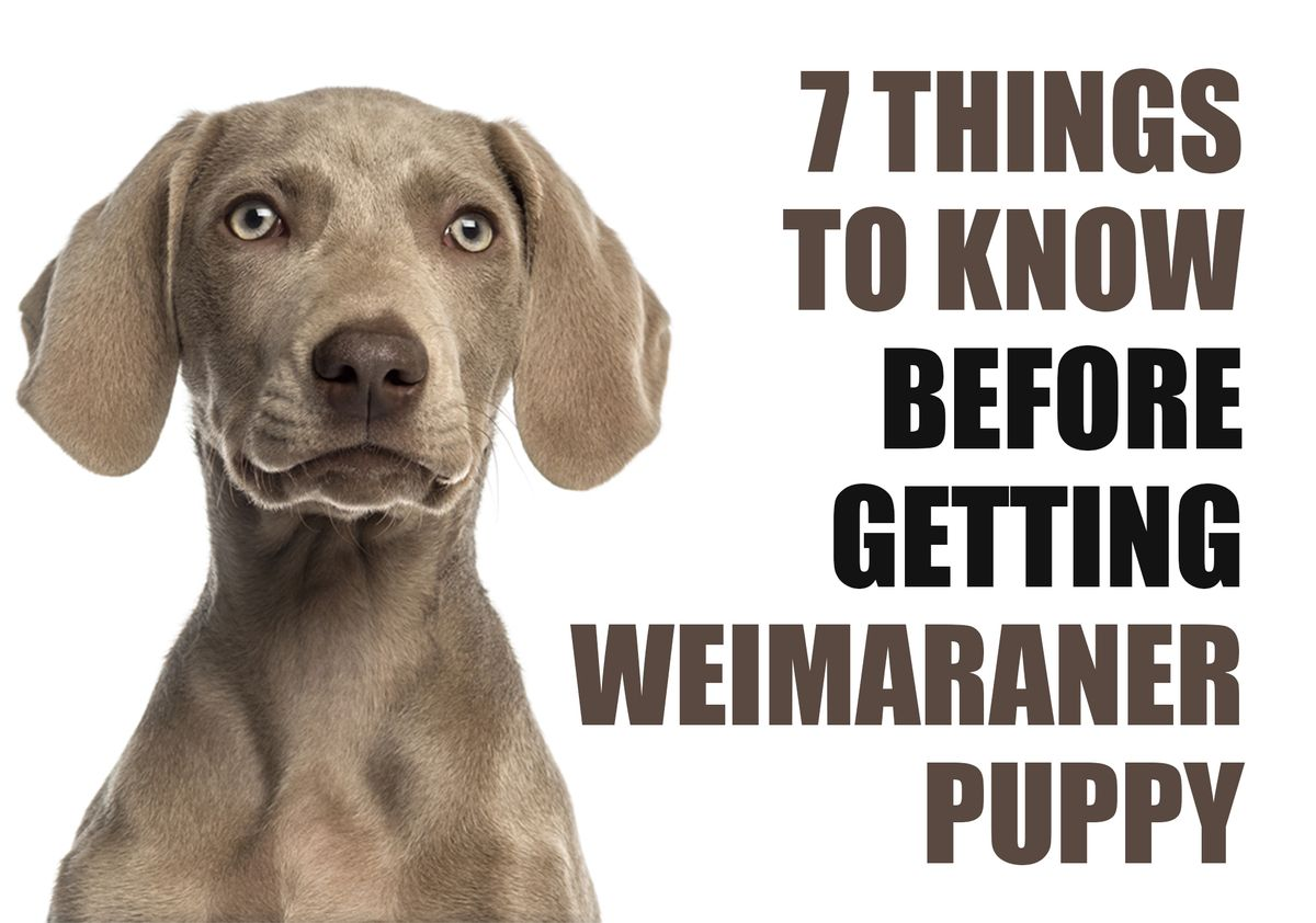 7 Things To Know Before Getting A Weimaraner Puppy