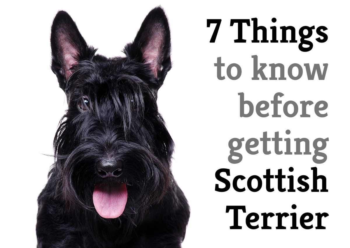 7 things you should know before getting a Scottish terrier
