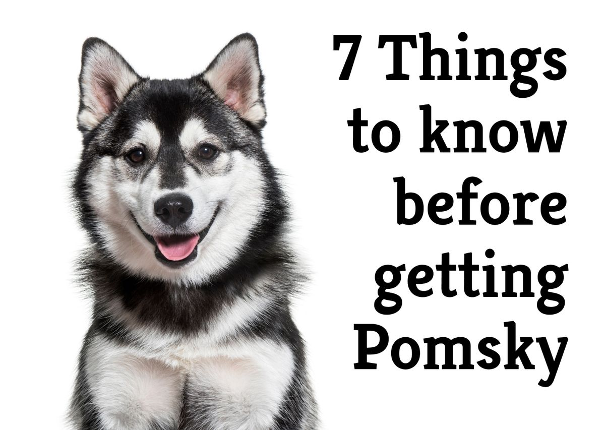 The 7 Ups and Downs of having a Pomsky pet