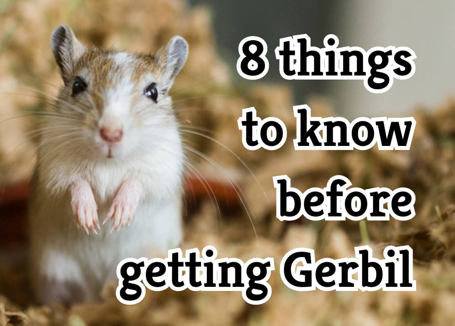 8 Things to Consider Before Getting a Pet Gerbil