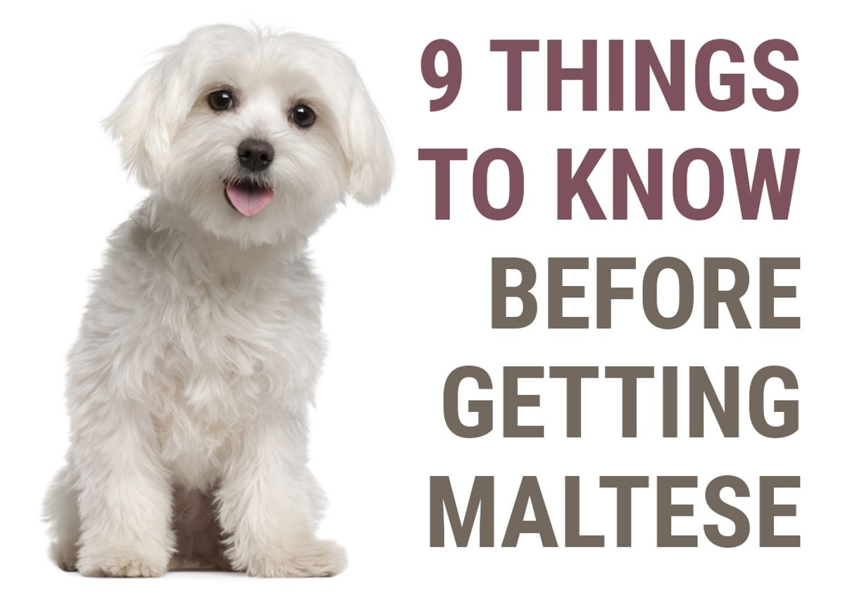9 Things To Know Before Getting A Maltese Puppy