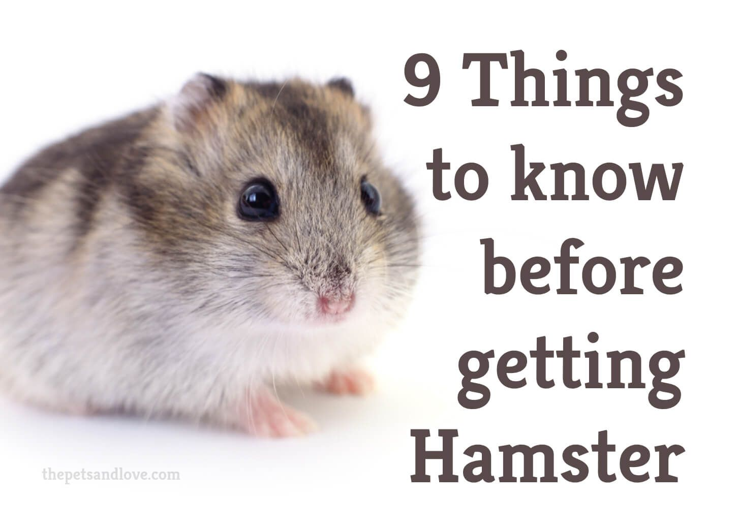 9 things to consider before buying a pet hamster