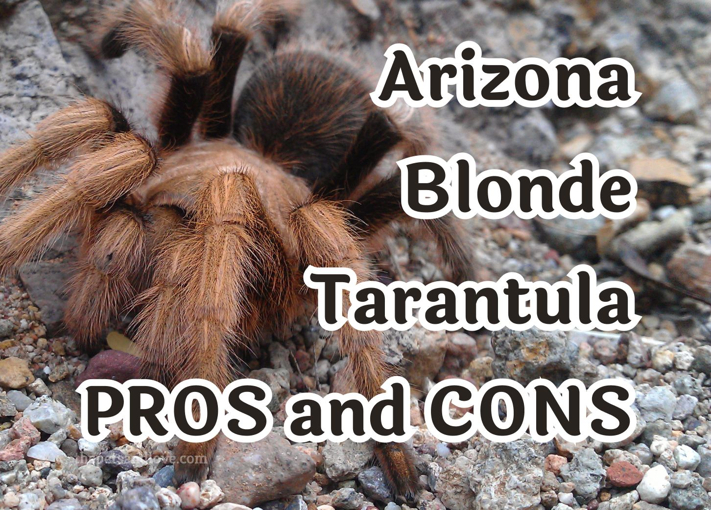 9 things to consider before buying an Arizona Blonde Tarantula pet