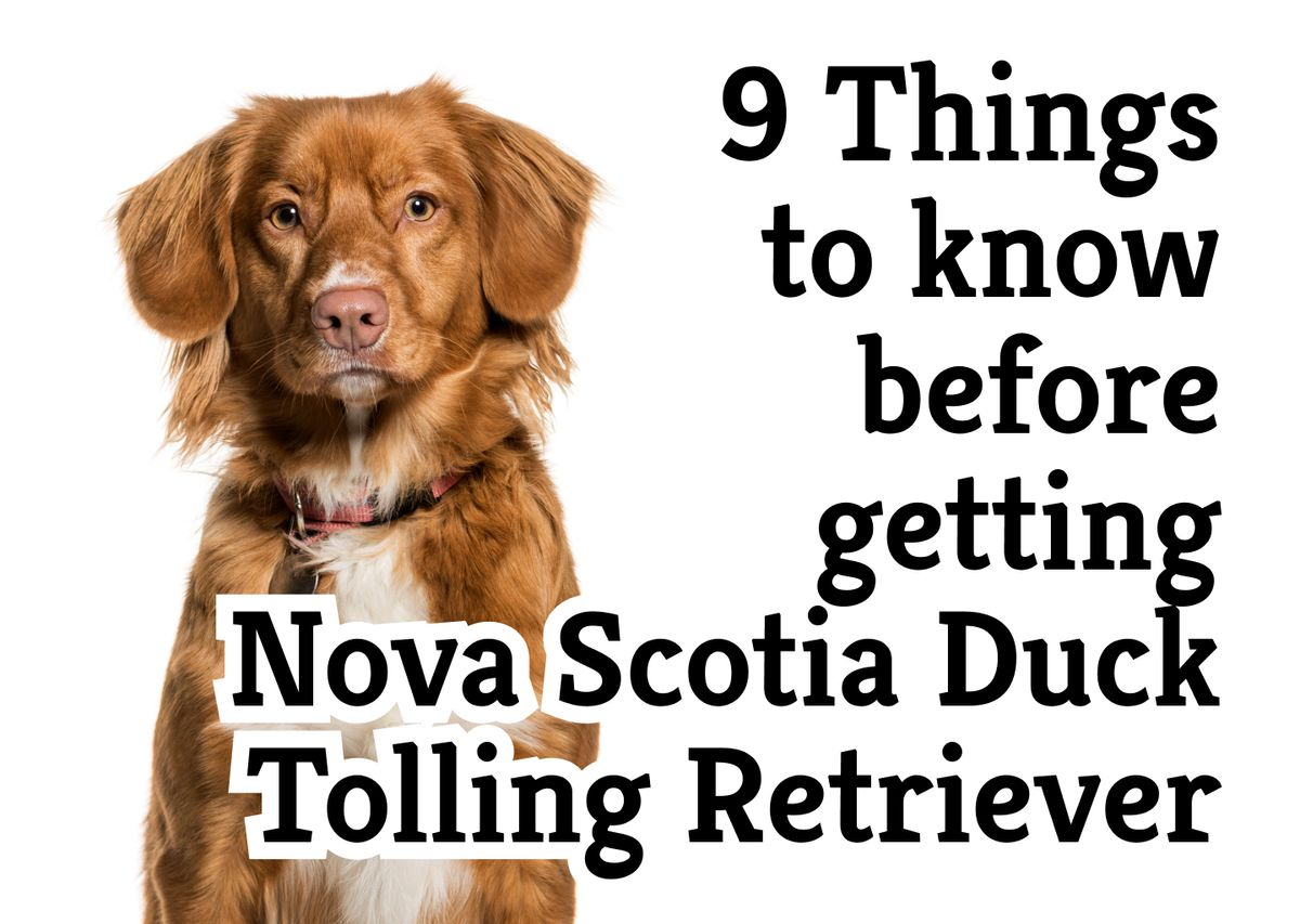 9 things you should know before getting a Nova Scotia Duck Tolling Retriever