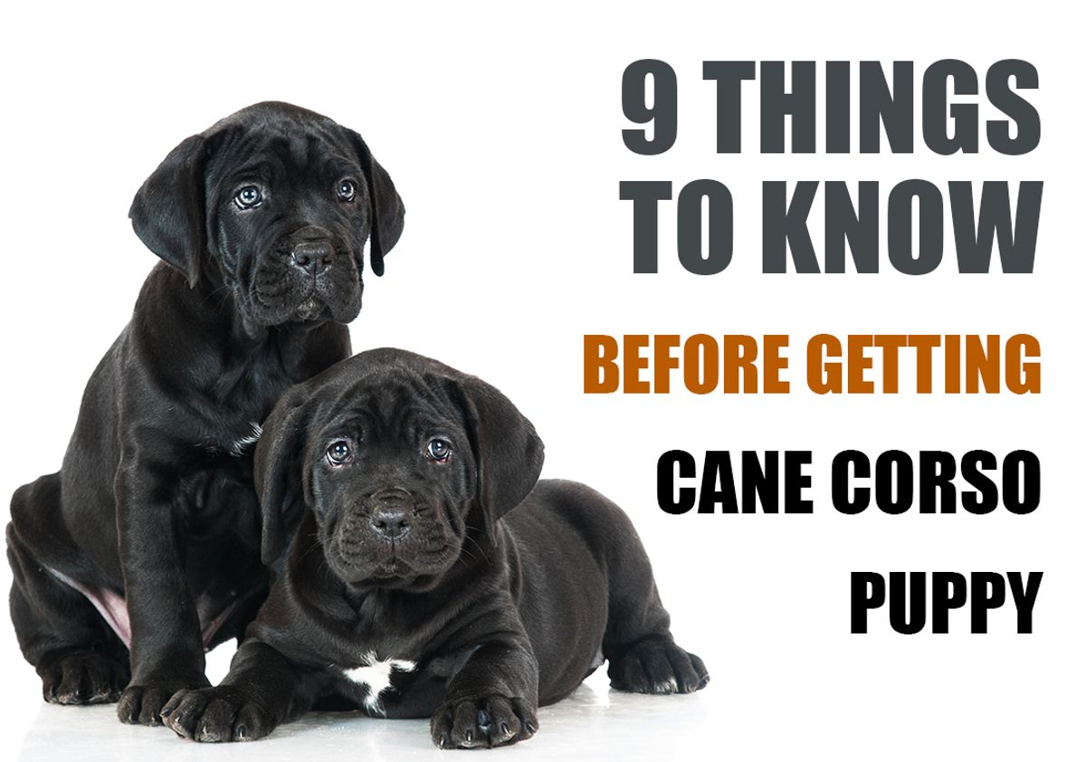 9 Things To Know Before Getting A Cane Corso Puppy