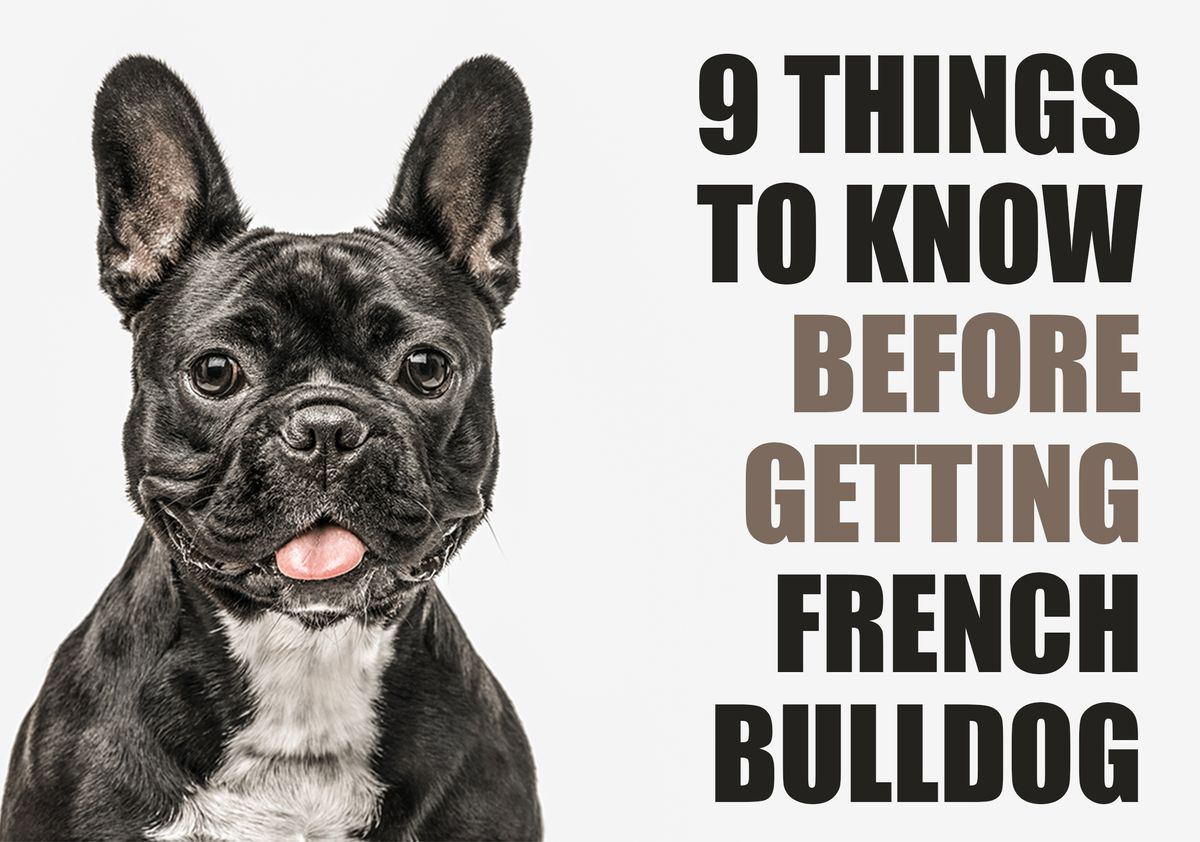 9 Things To Know Before Getting A French Bulldog Puppy