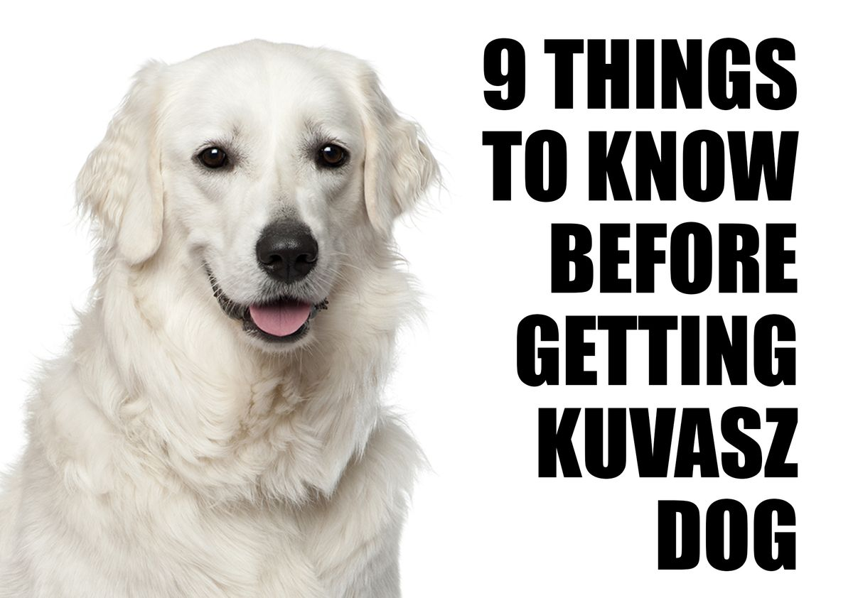 9 Things To Know Before Getting A Kuvasz Dog