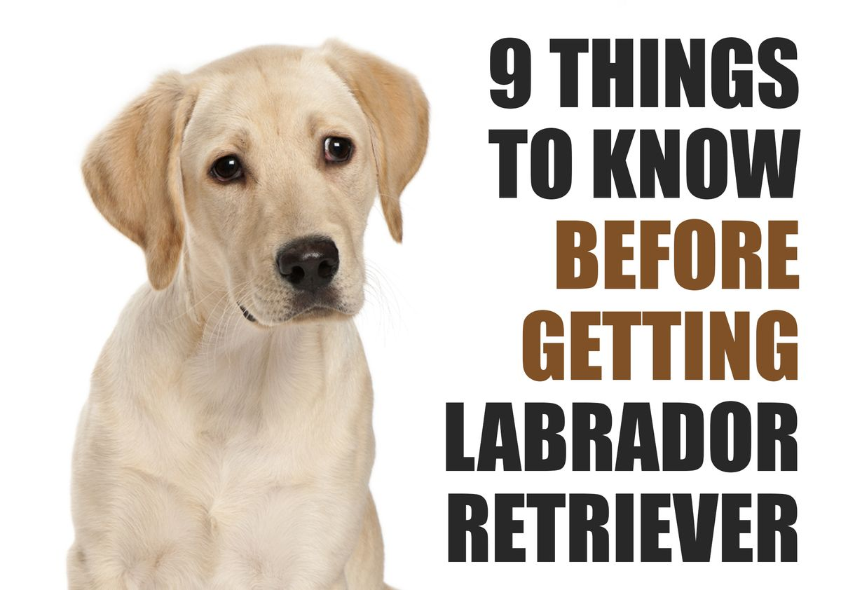 9 Things to Know Before Getting a Labrador Retriever