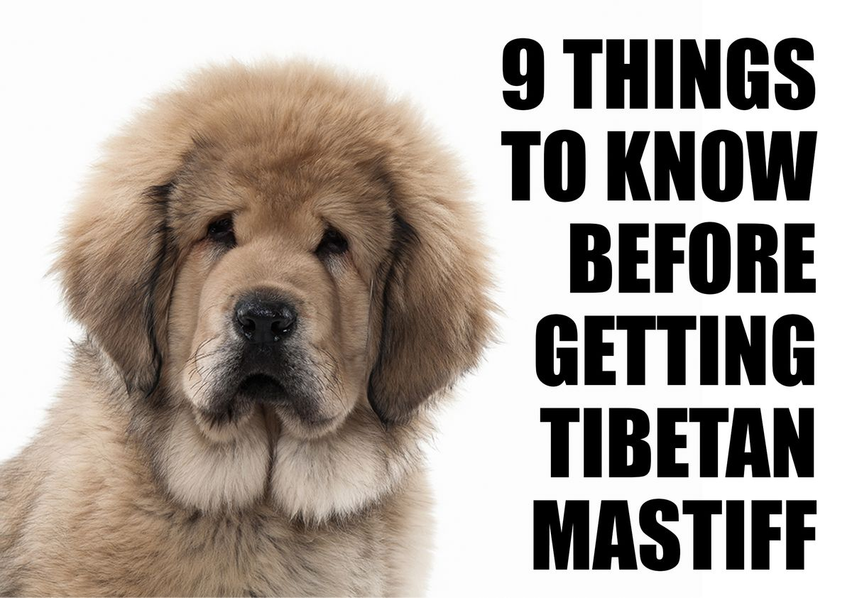 9 Things To Know Before Getting A Tibetan Mastiff Puppy