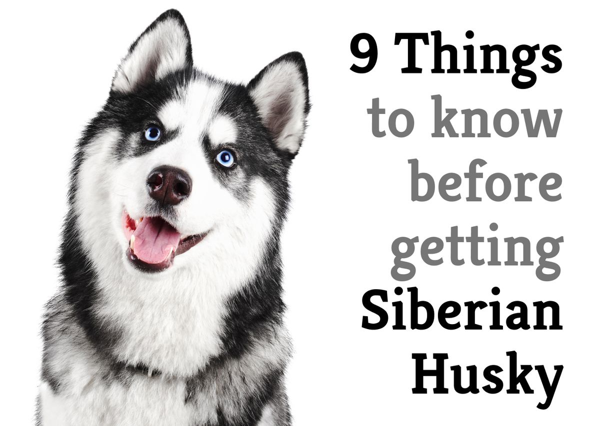 9 things you should know before getting a Siberian Husky