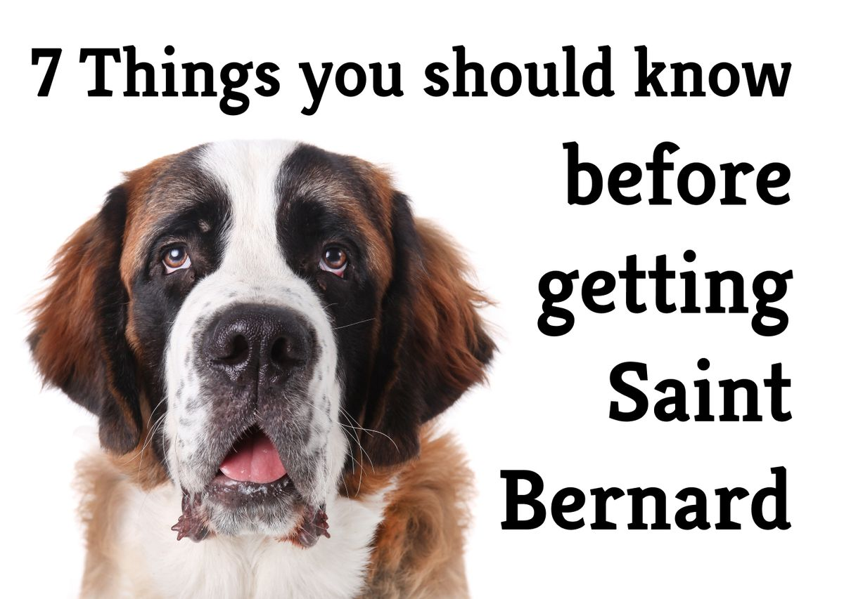 The 9 Ups and Downs of having a Saint Bernard as a family pet
