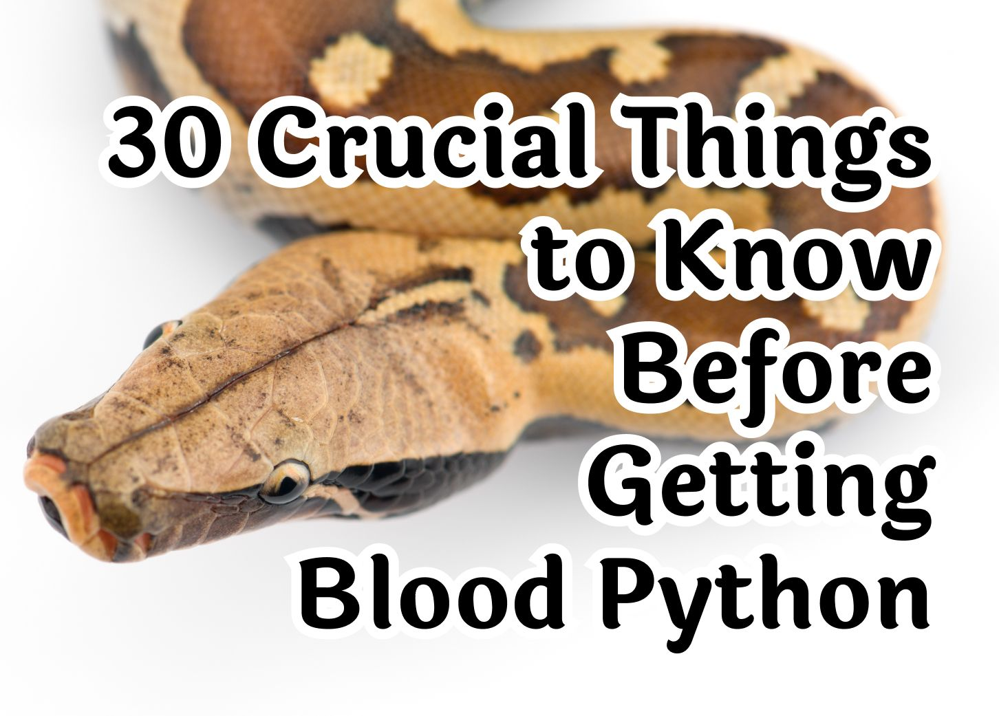 30 Crucial Things to Know About the Blood Python