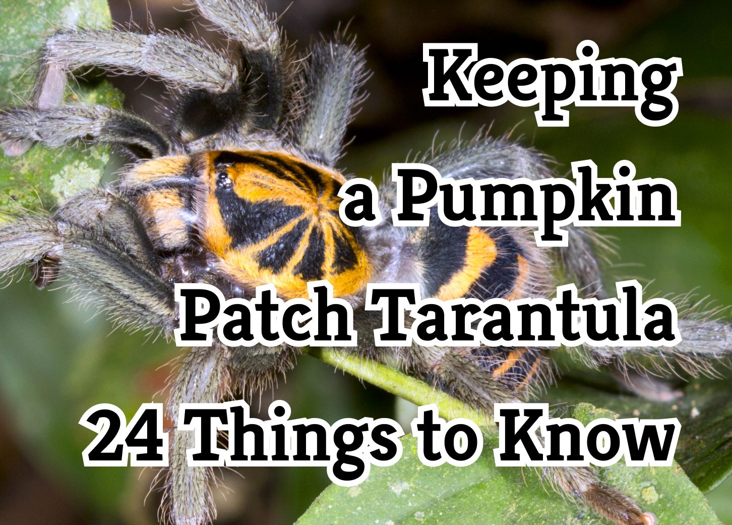 24 Crucial Things to Know About the Pumpkin Patch Tarantula