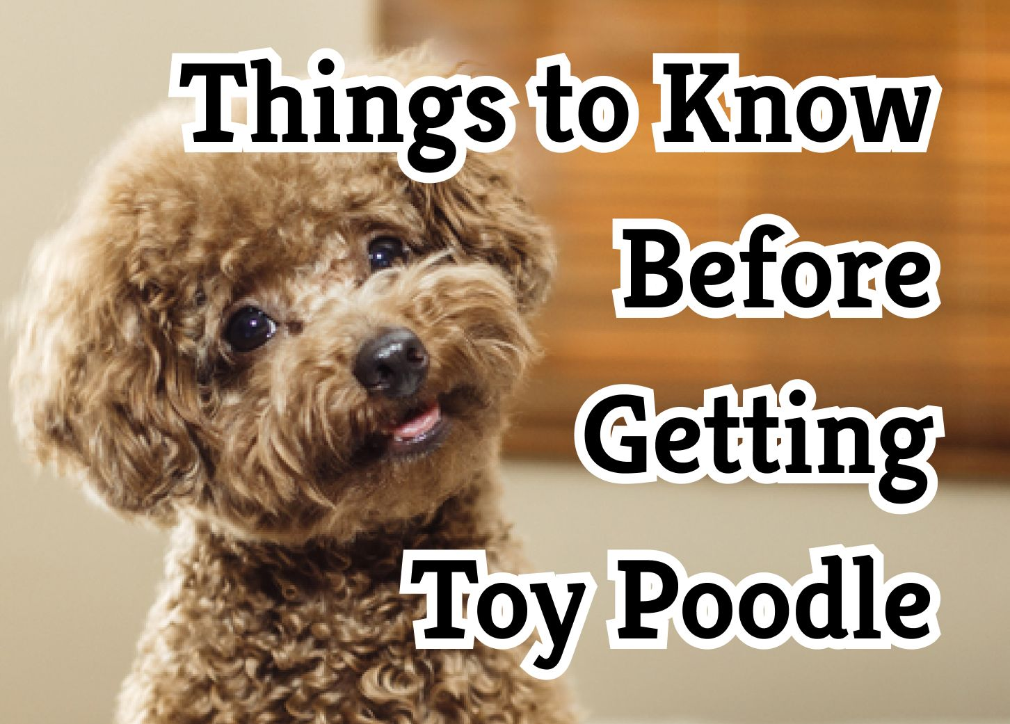 37 Crucial Things to Know About Toy Poodles
