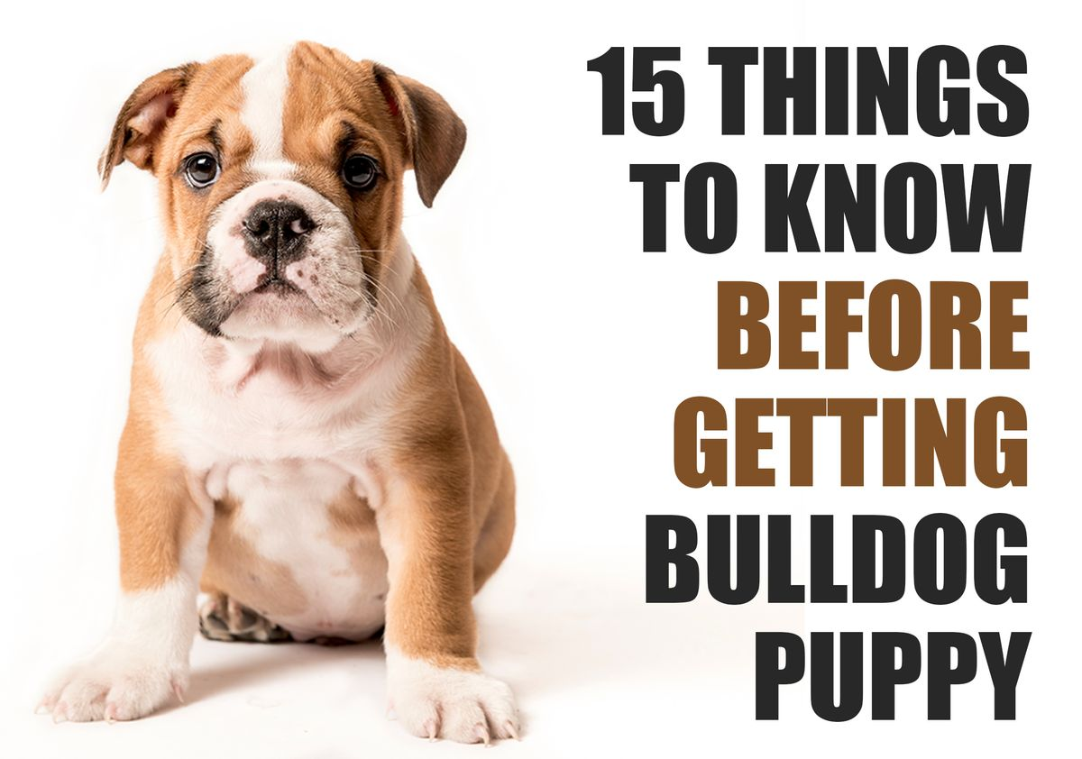 15 Things To Know Before Getting A Bulldog Puppy - The Pets and Love