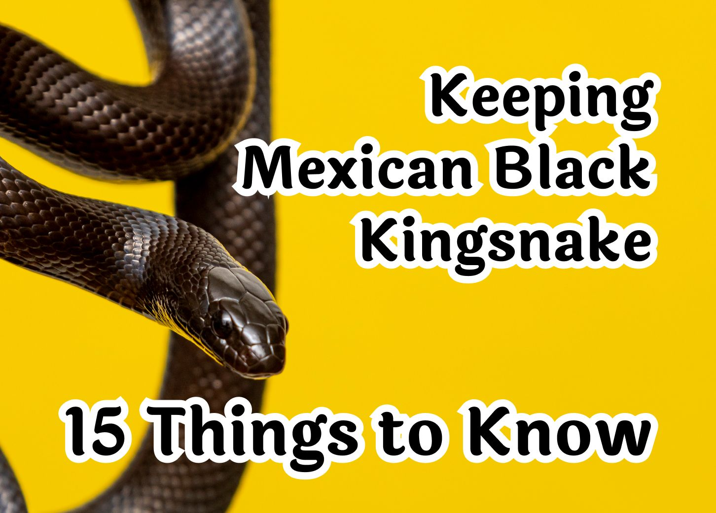 How to Keep Mexican Black Kingsnake – 15 Crucial Things to Know