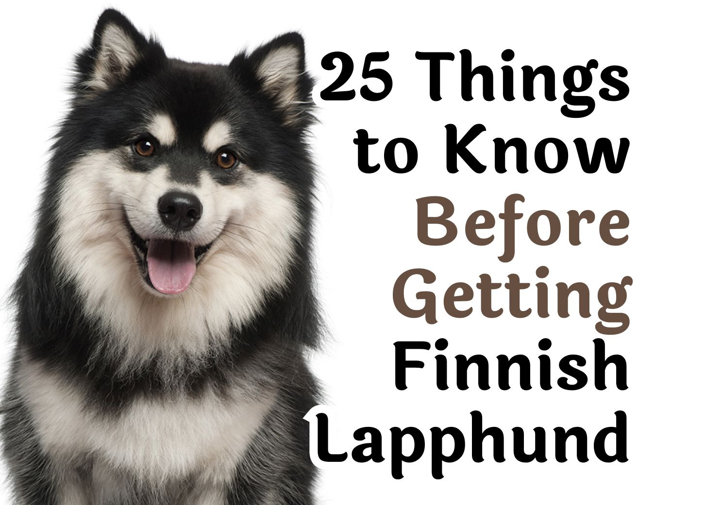 25 Important Questions To Ask Before Getting A Finnish Lapphund