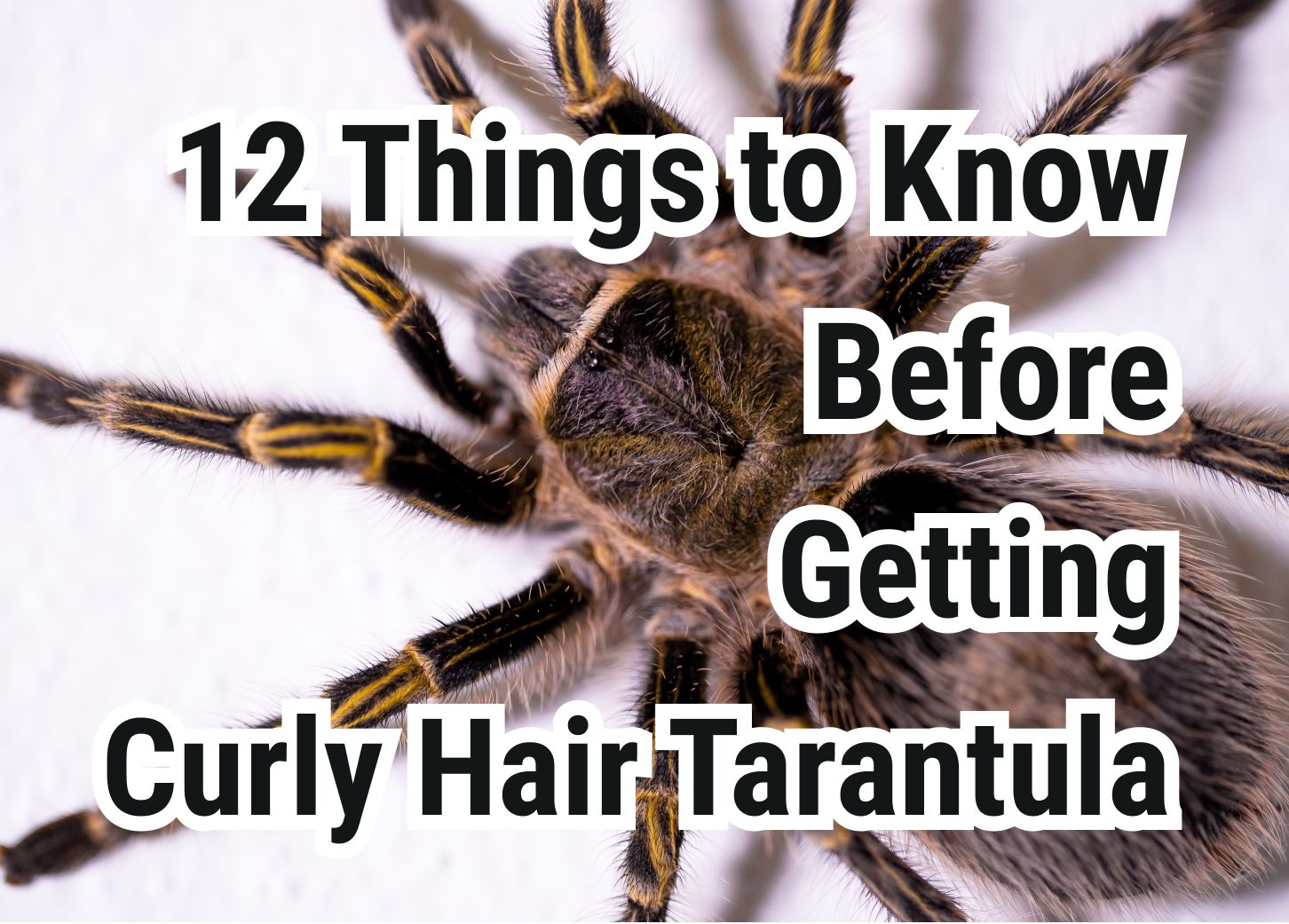 12 Important Things to Know Before Getting Curly Hair Tarantula