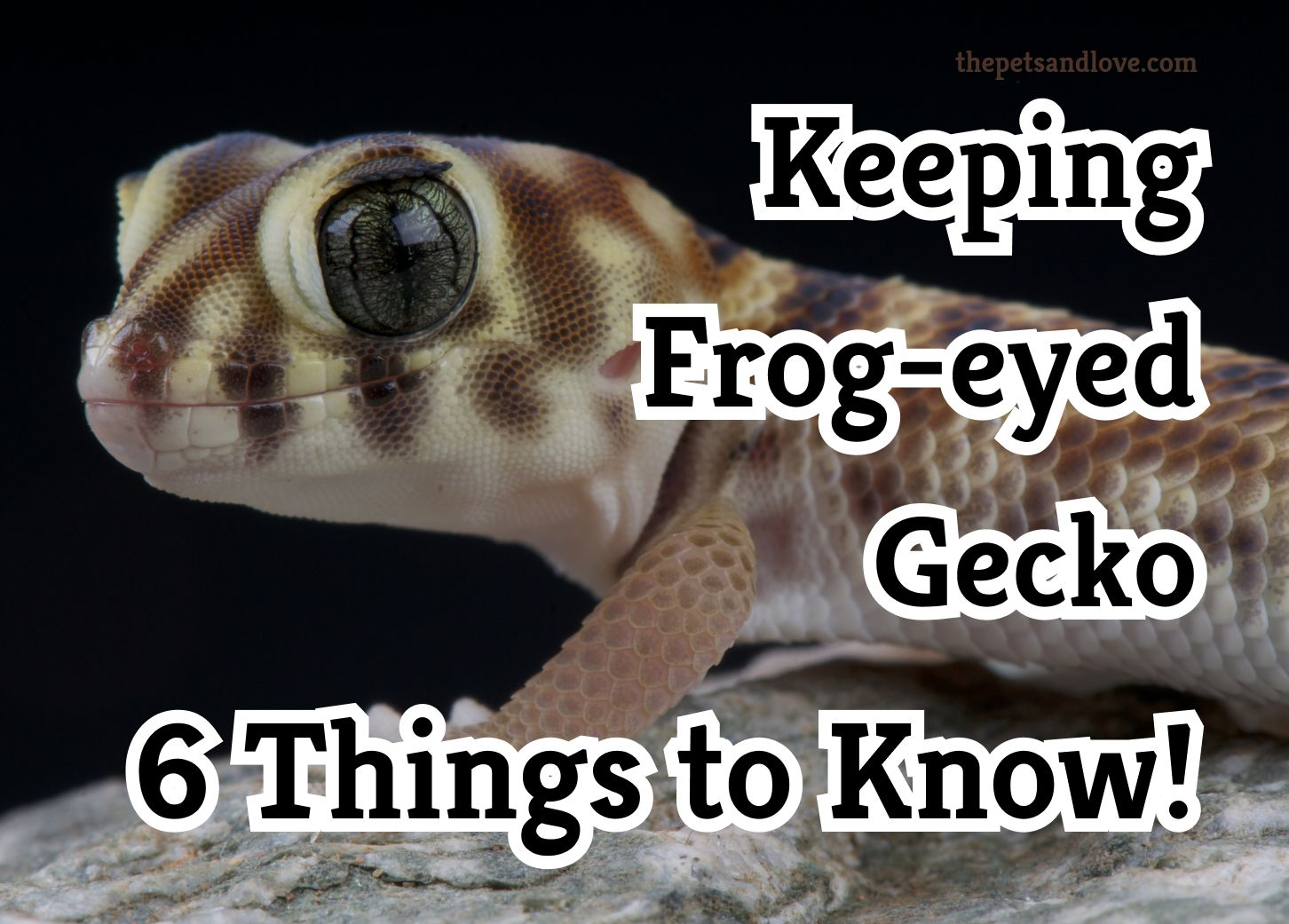 Keeping frog eyed gecko? 6 Things to know!