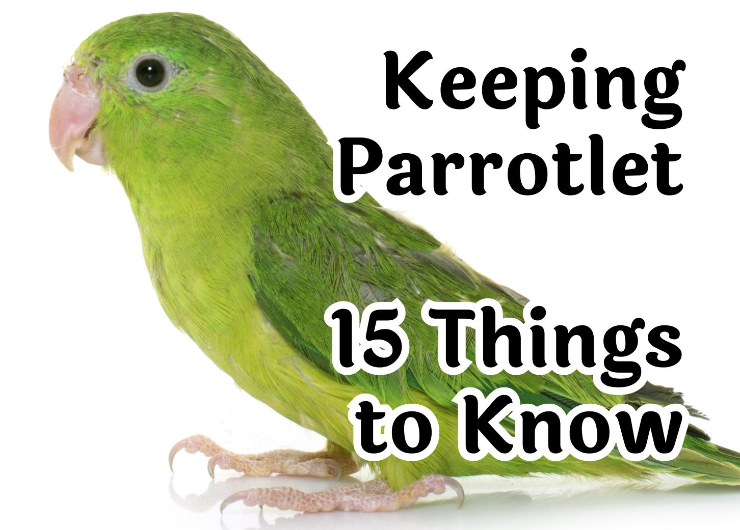Keeping Parrotlet – 15 Things to Know