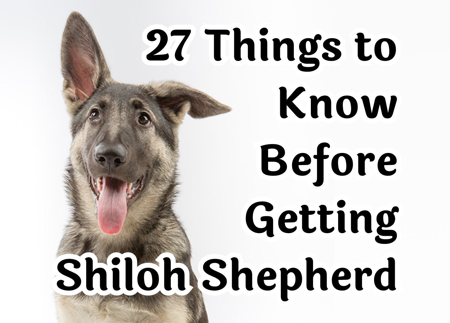 27 Key Points To Consider Before Getting A Shiloh Shepherd