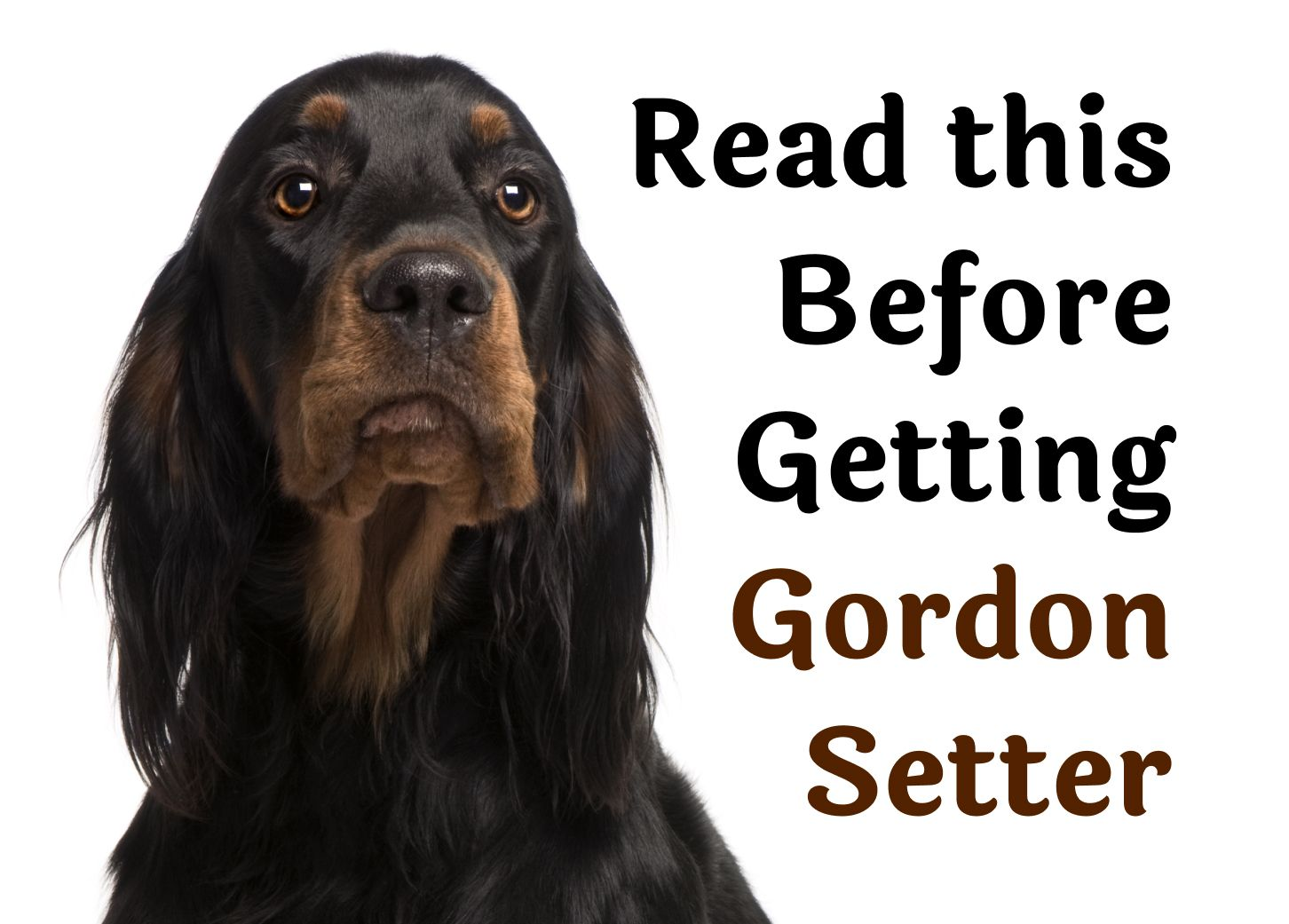25 Questions That Should Be Considered Before Getting A Gordon Setter