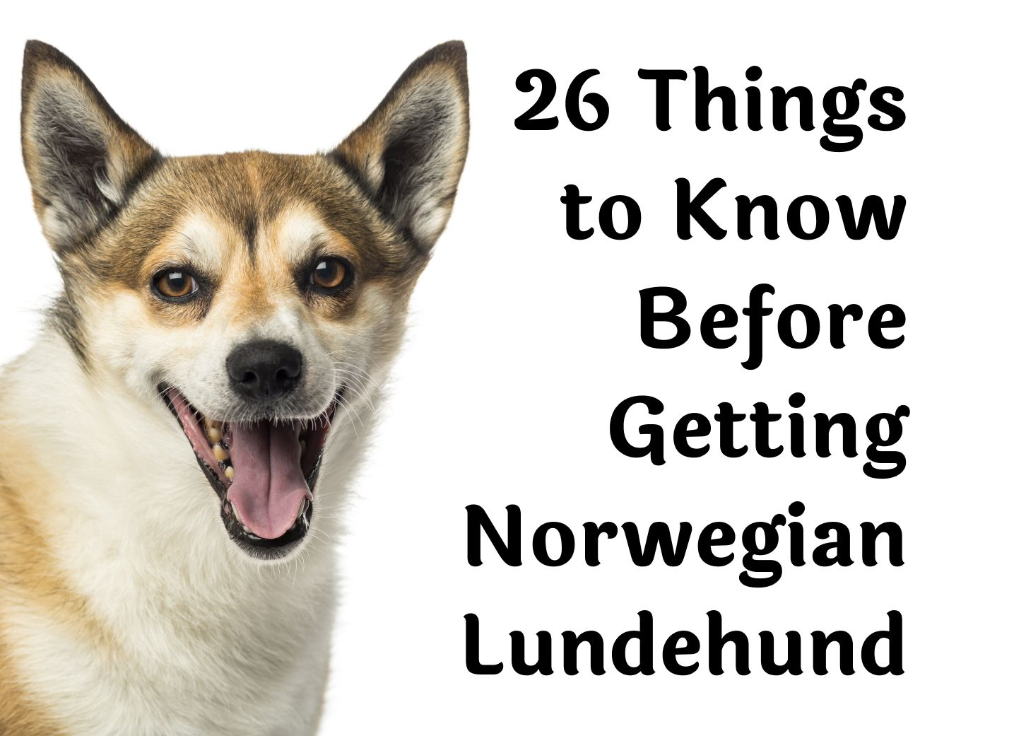 26 Questions That Should Be Considered Before Getting A Norwegian Lundehund
