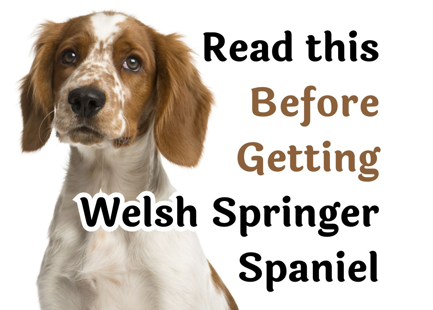 25 Questions That Should Be Considered Before Getting A Welsh Springer Spaniel