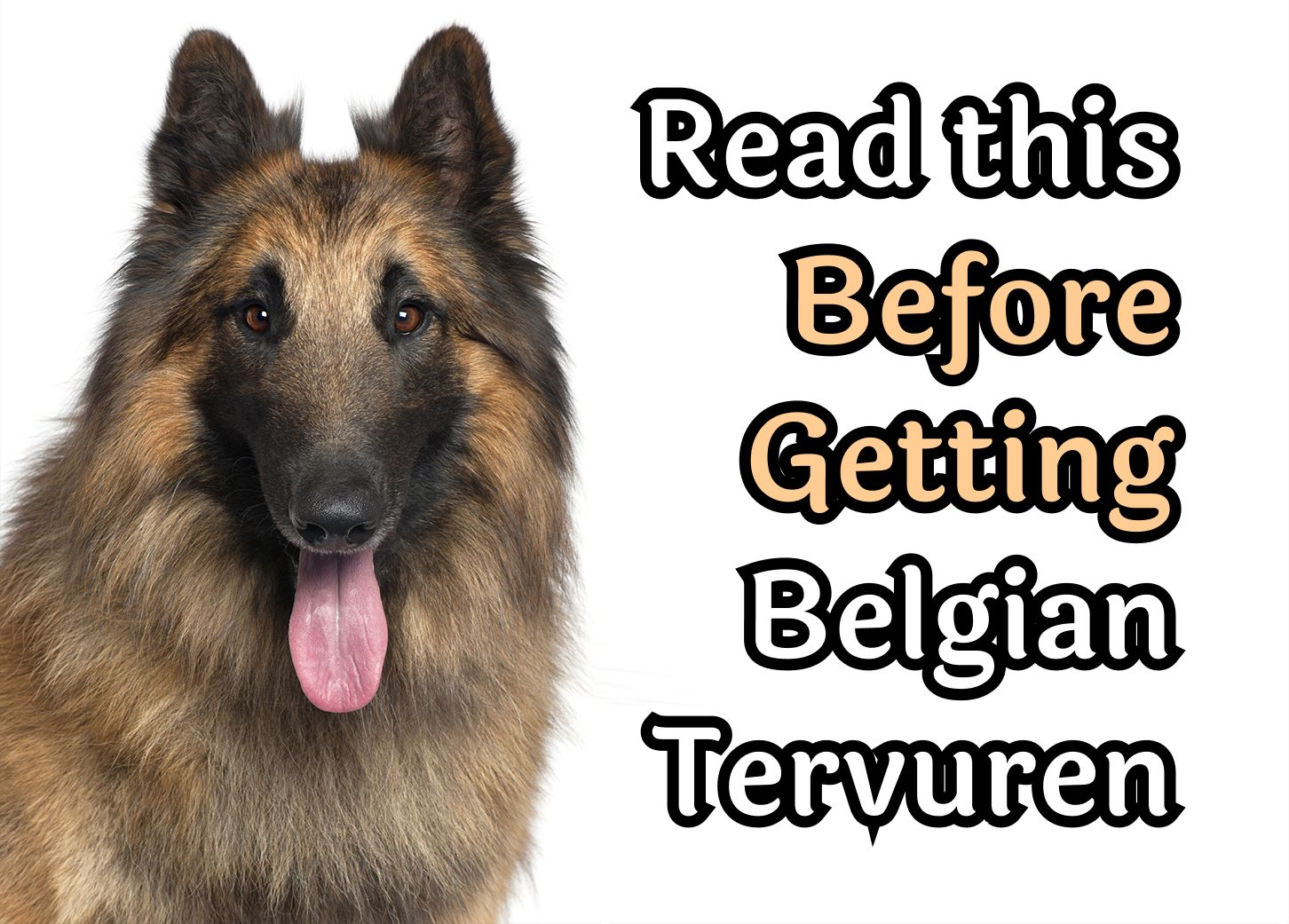 32 Questions To Consider Before Getting A Belgian Tervuren