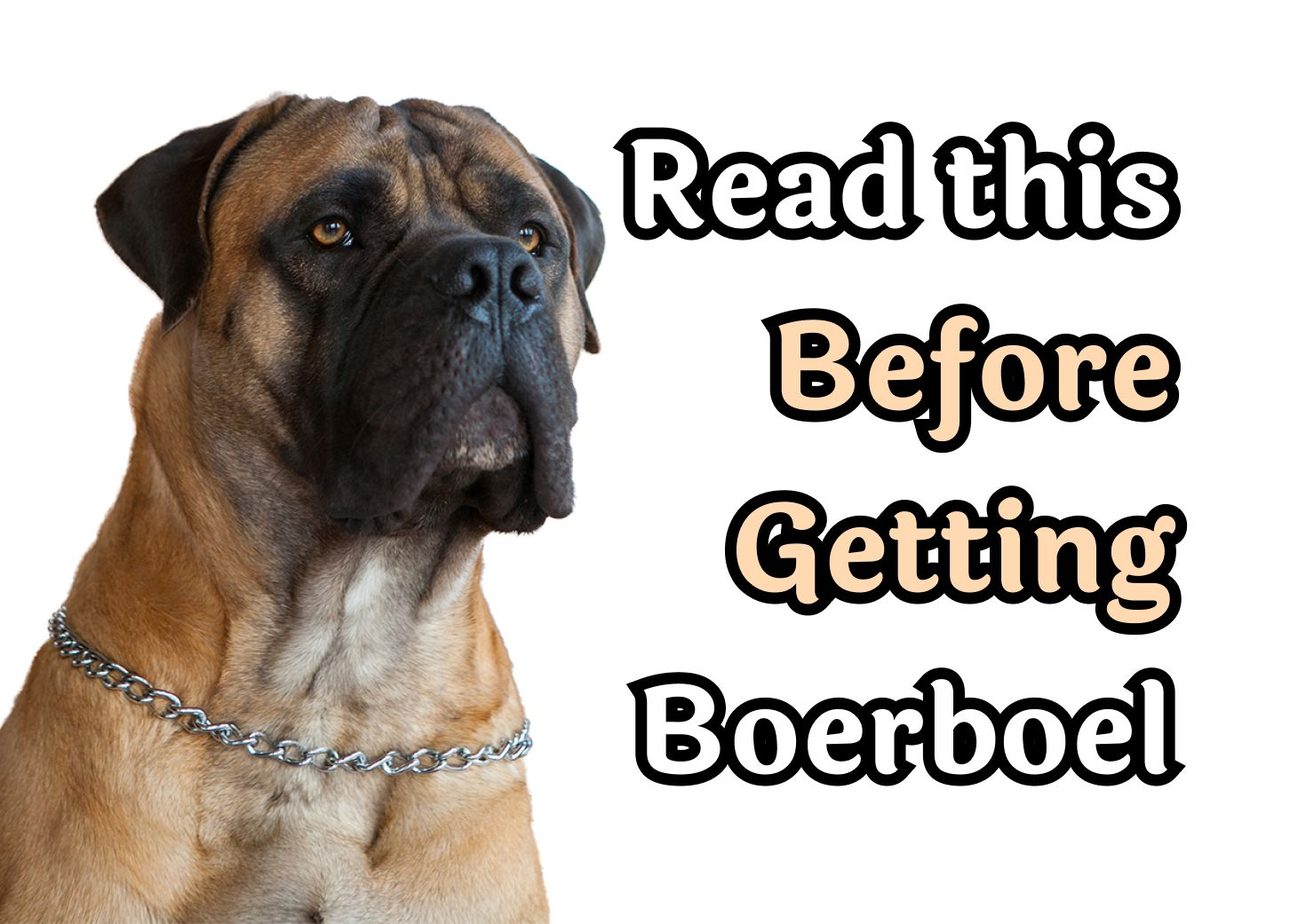 24 Questions То Consider Before Getting A Boerboel