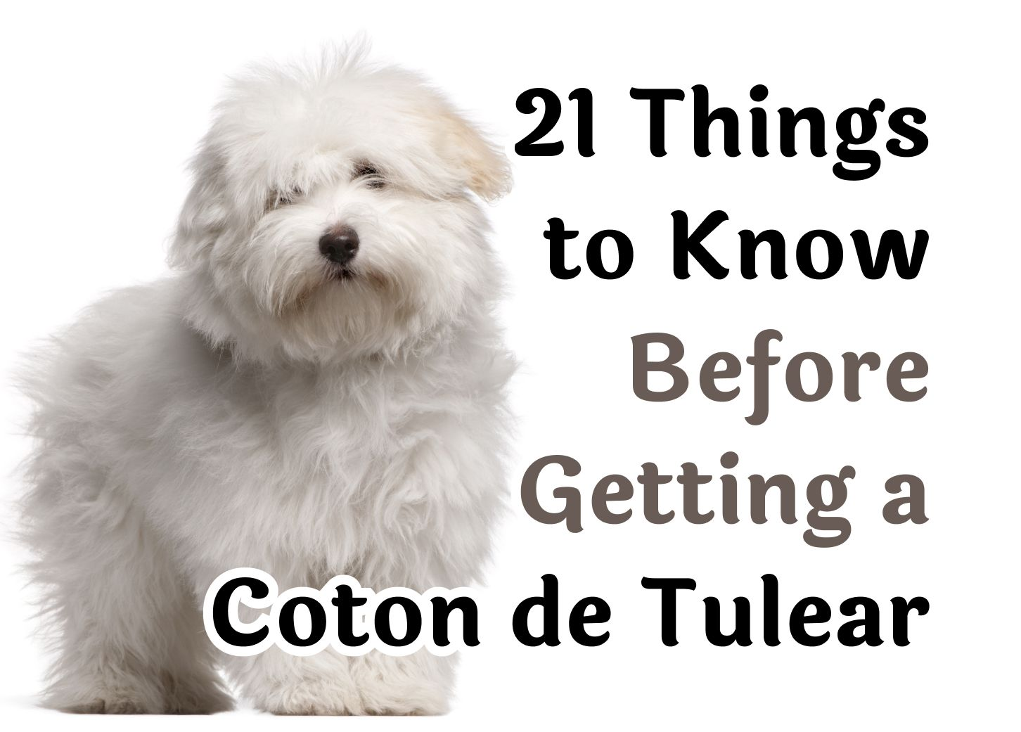 21 Questions to Consider Before Getting a Coton de Tulear