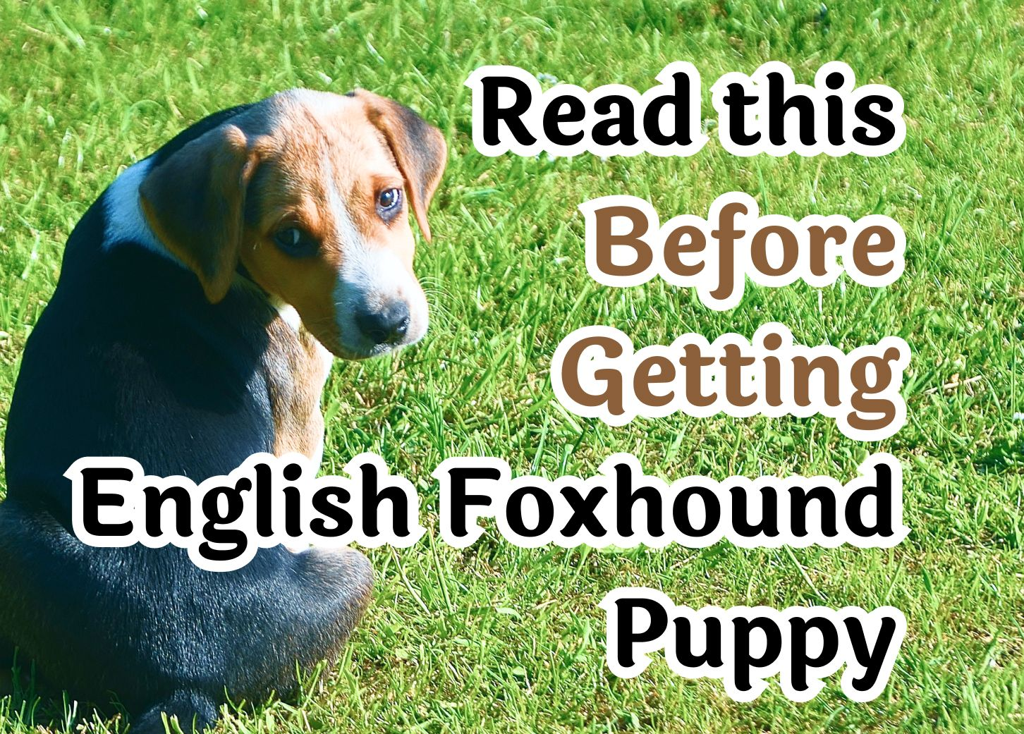 25 Questions to Consider Before Getting An English Foxhound